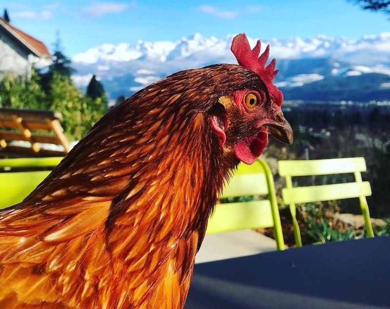 Oeufs bio de poules de plein air
